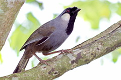 Black-throated Laughingthrush
