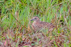 Common Buttonquail